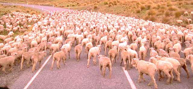1 2 Or Many Sheep