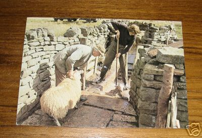 2 Men Dipping Sheep in Uk