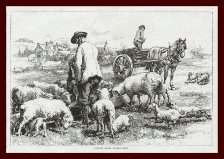 2 Men Feeding Sheep at Lambing Time