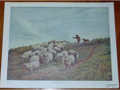 475 Domestic Sheep