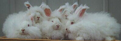 5 German Angora Rabbits