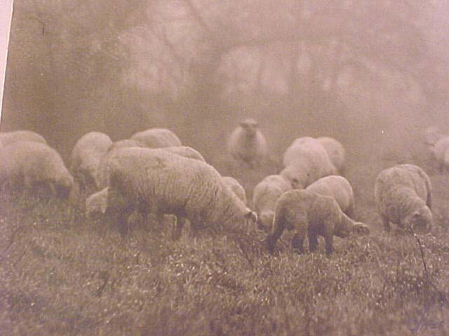 Bandw Photo Sheep on Pasture