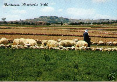 Bethlehem Sheep