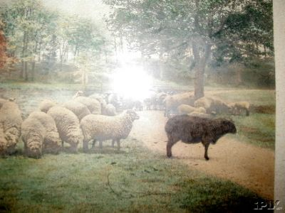 Black Sheep Not One of the 400