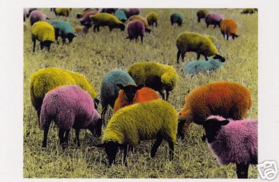 Brightly Colored Sheep