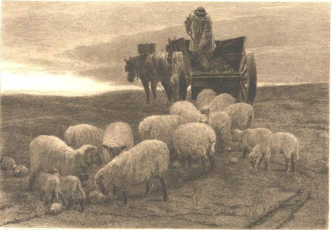 Cabbage Eating Sheep