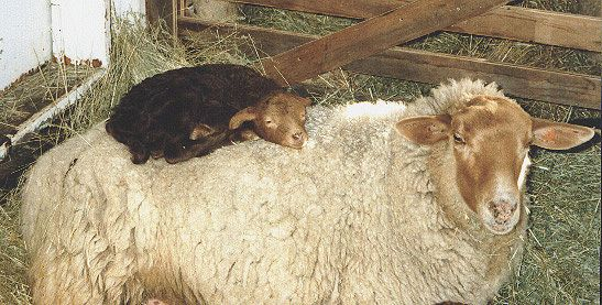 California Red Ewe with Lamb