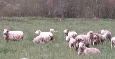 Covered Sheep at Pasture