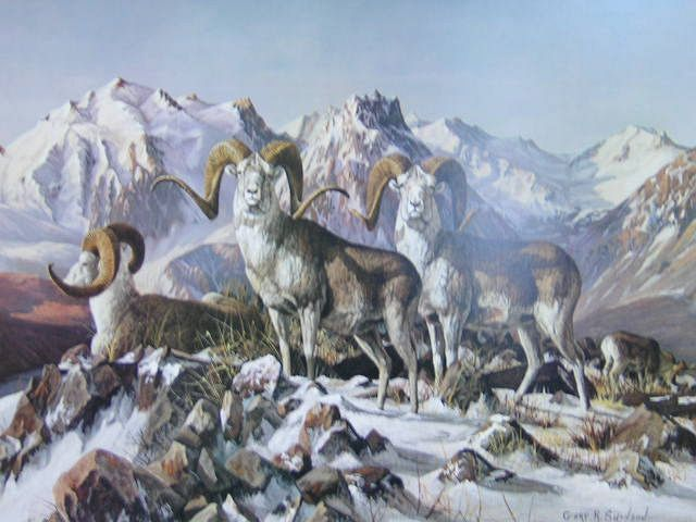 Dall Sheep in Snow