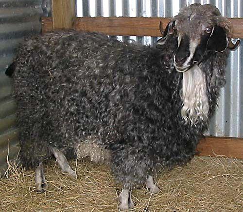 Black angora goat