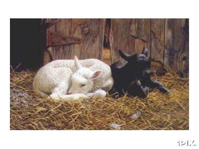 Ebony and Ivory Sheep