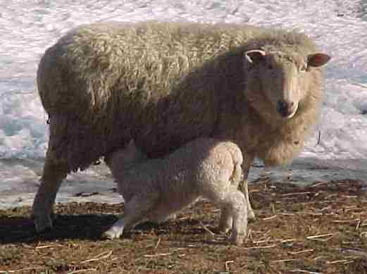 Ewe and Child