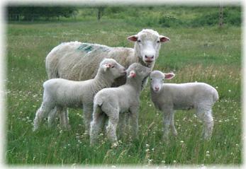 Ewe with Triplets 2