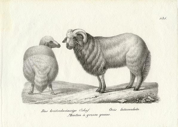 Fluffy Tailed Sheep 1827