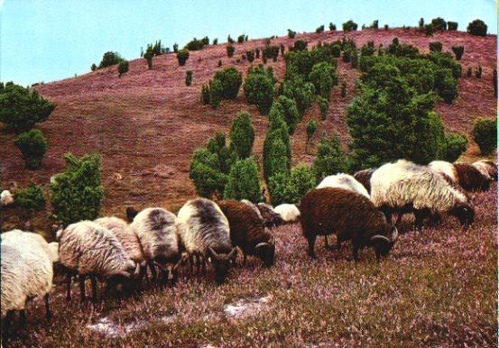 German Sheep