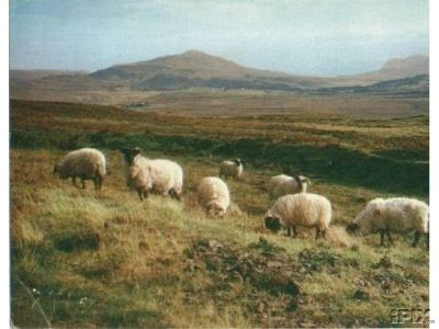Highland Sheep Grazing