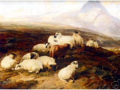 Highland Sheep in Repose