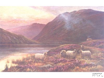 Highland Sheep in the High Lands