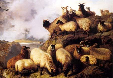 Highland Sheep Near Water