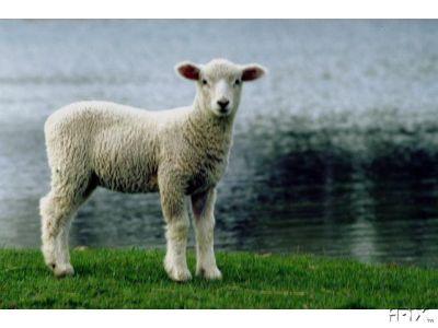 Sheep Images: Lovely Ewe Lamb