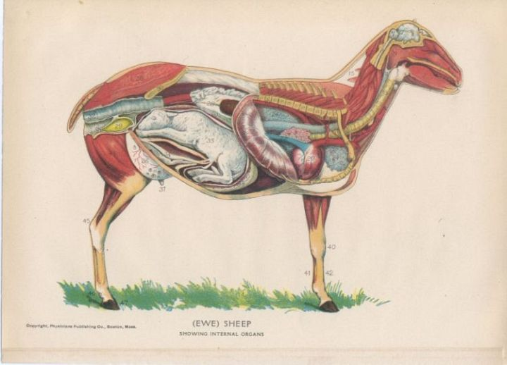 pregnant sheep anatomy