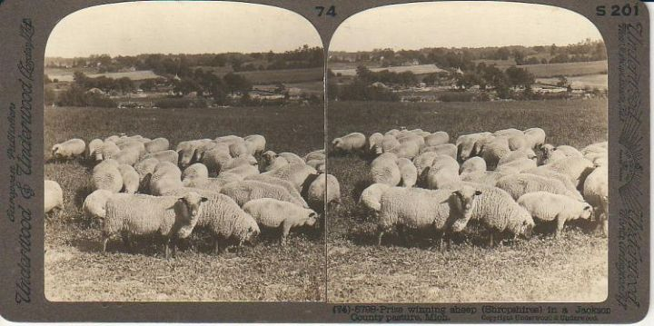 Prize Winning Sheep in Mi