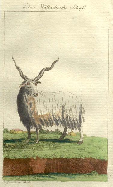 sheep images rakka sheep ancestor