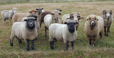 Rams Waiting For Breeding Season