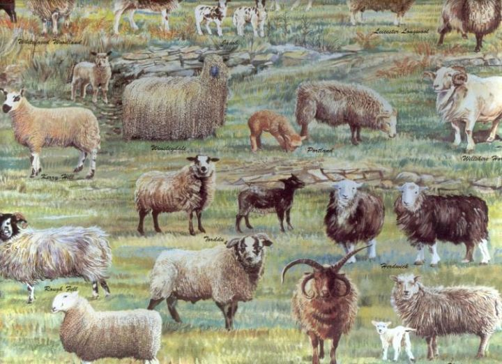 Rare Sheep Breeds