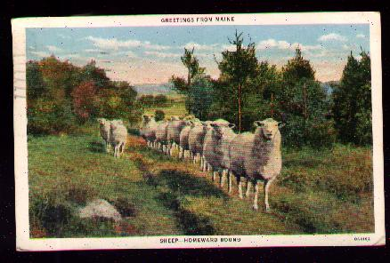 Sheep all in a Line