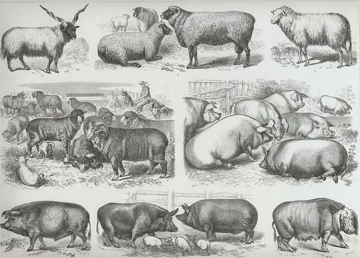 Sheep and Hog Breeds