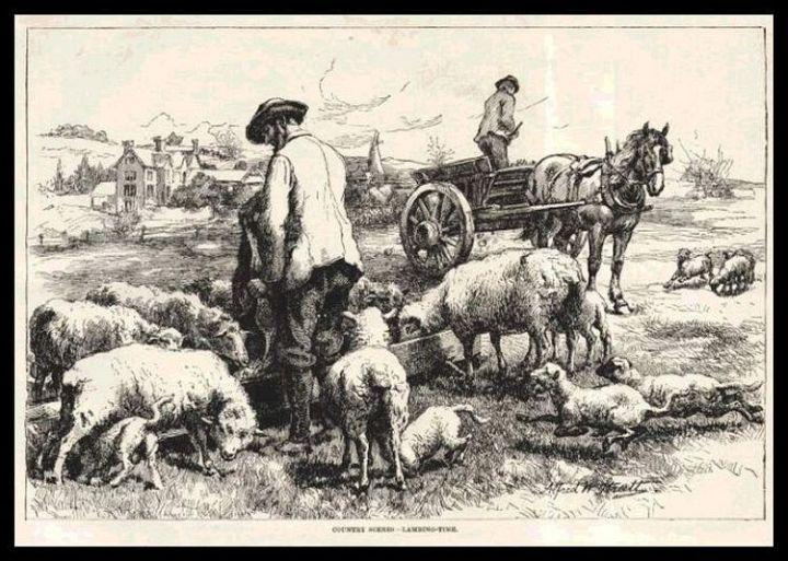 Sheep at Lambing Time 1887