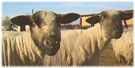 Sheep Ewes Named Belinda and Iris