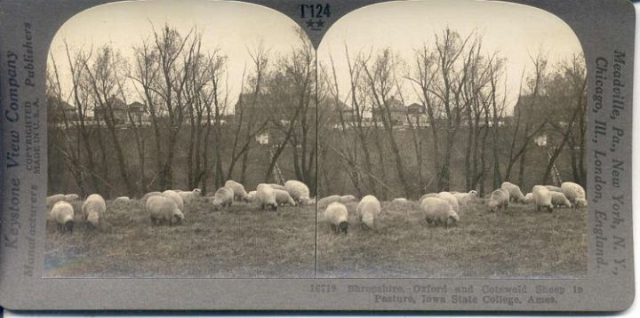 Sheep in Iowa Pasture