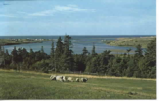 Sheep in Nova Scotia