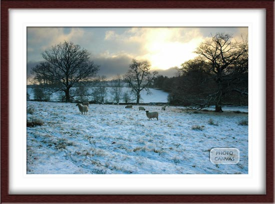 Sheep in Snowy Field Leicestershire English Countryside