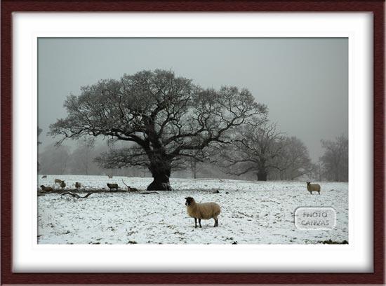 Sheep in Snowy Field Oak Tree in Background Derbyshire
