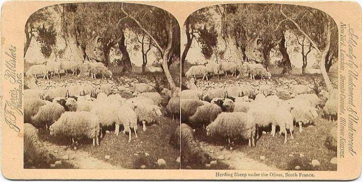 Sheep Olive Trees France