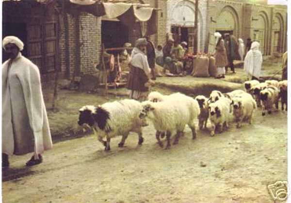 Sheep on the Street in Kandahar Afghanistian