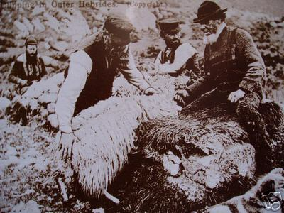 Sheep Shearing in Hebrides Circa 1900