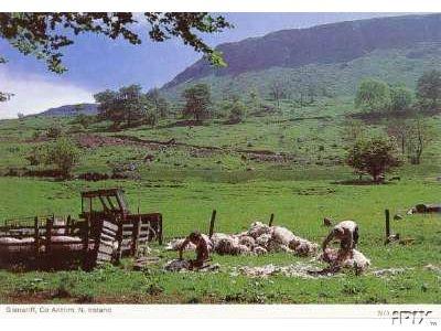Sheep Shearing in Ireland1