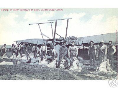Sheep Shearing on Or