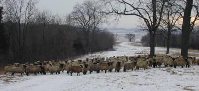 Sheep Watching in December
