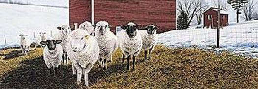 Sheep in winter morning light