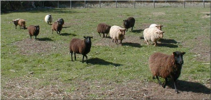Shetland Sheep Persons B