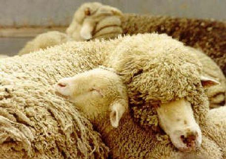 Sleeping Ewe and Lamb
