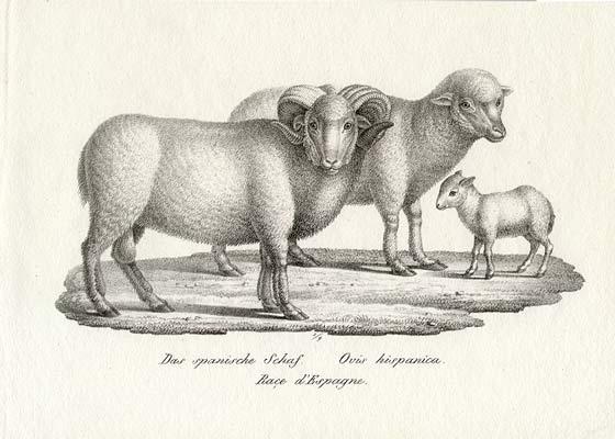 Spanish Sheep in 1827