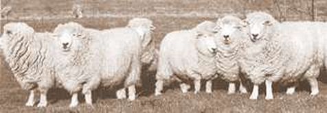 Strip of Romney Ewes