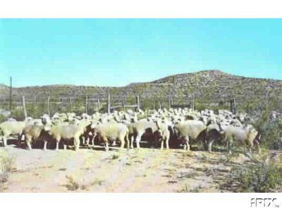 West Texas Sheep