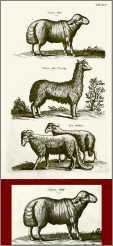 Fat Tailed Sheep B